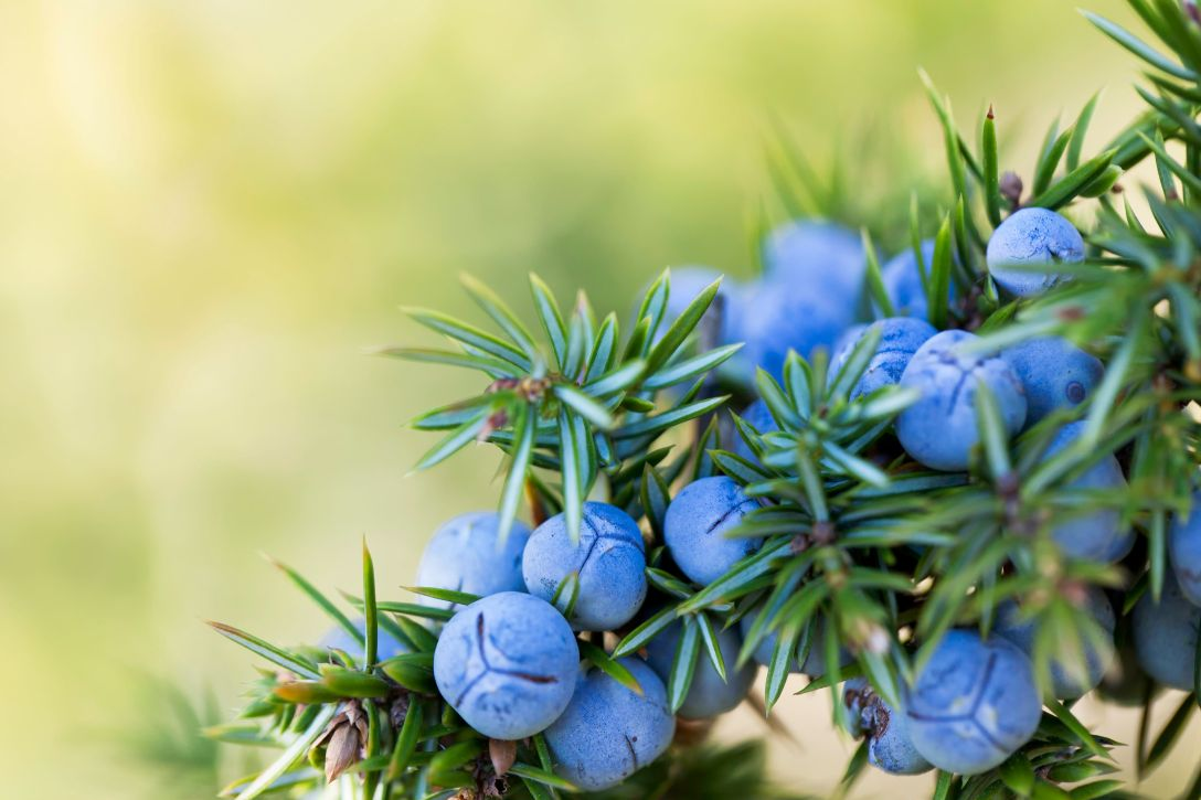 Juniper berries, used to make Juniper Berry essential oil.