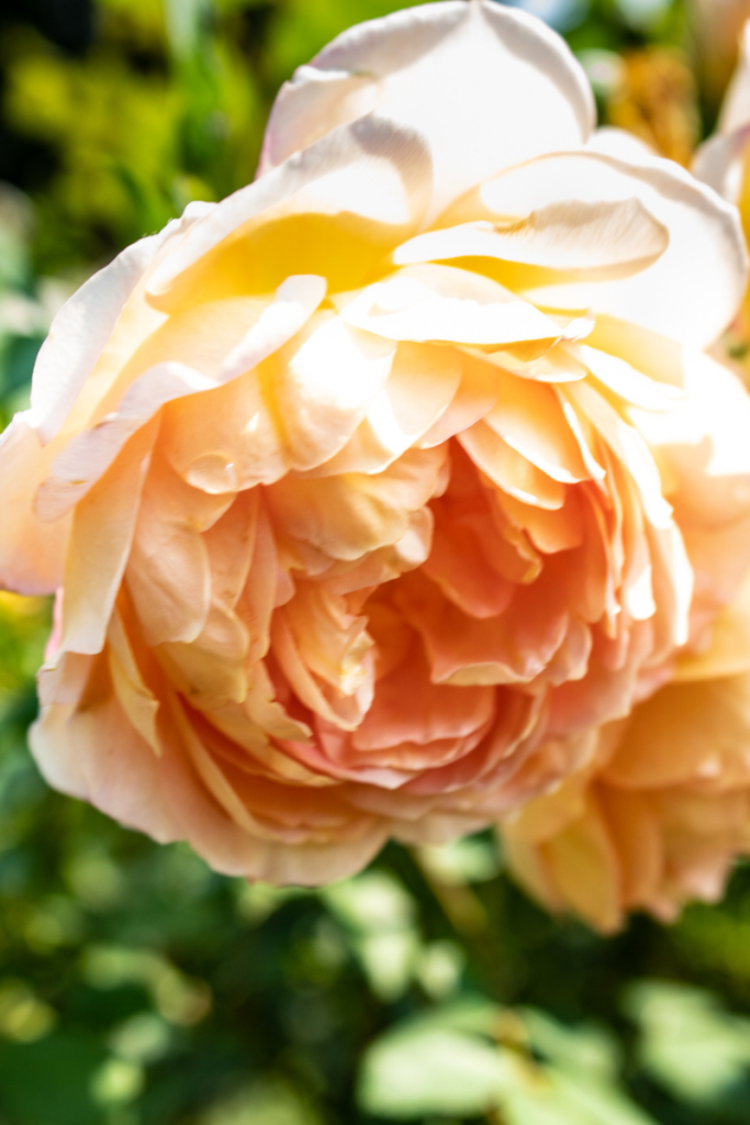 Close up of a peach rose at the International Rose Test Garden in Portland Oregon