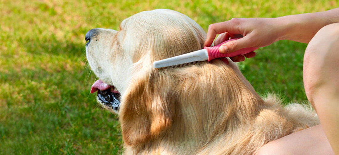 Golden Retriever Being Brushed