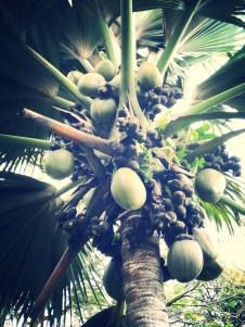 Coco de mer tree | Seychelles