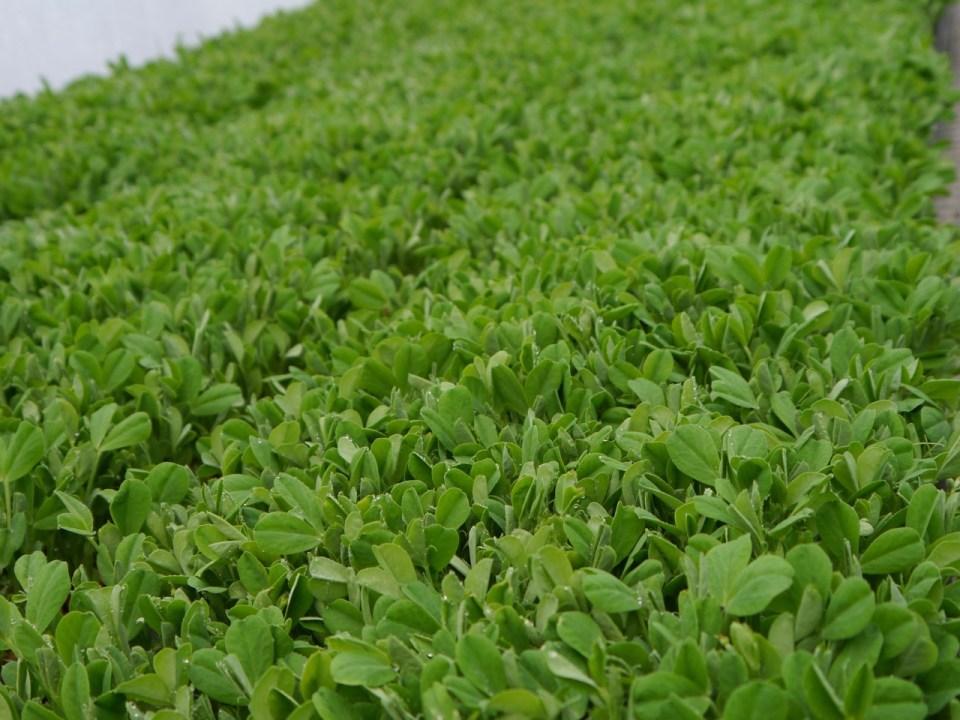 trays of organic pea shoots