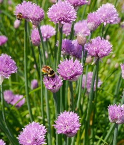 bee pollinating organic chive flowers