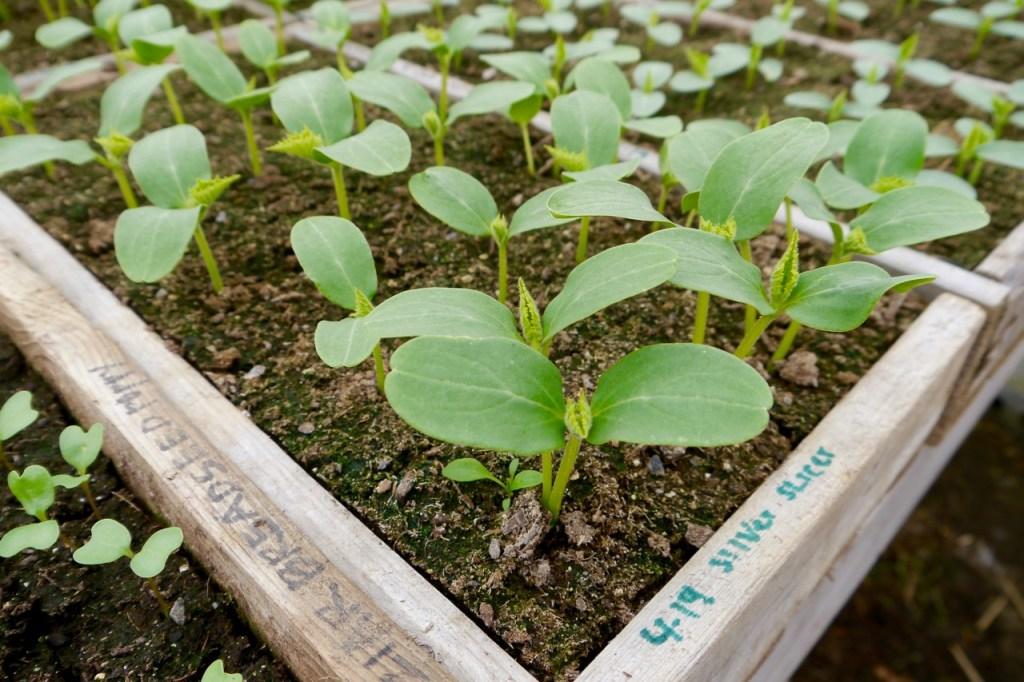 organic silver slicer cucumber seedlings
