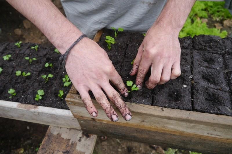 up-potting organic celery