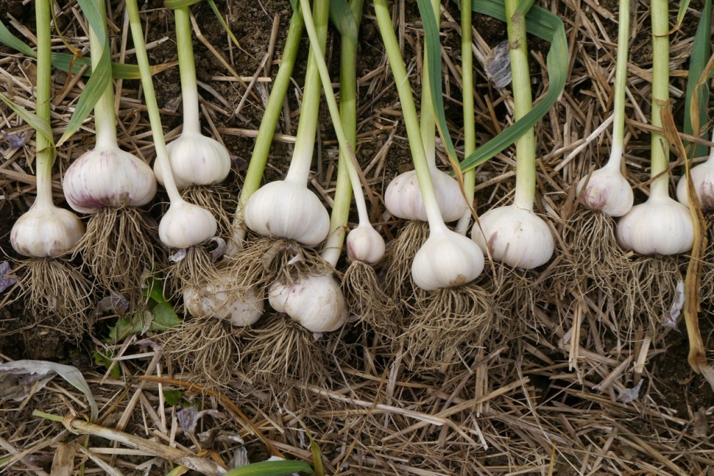 organic garlic harvest