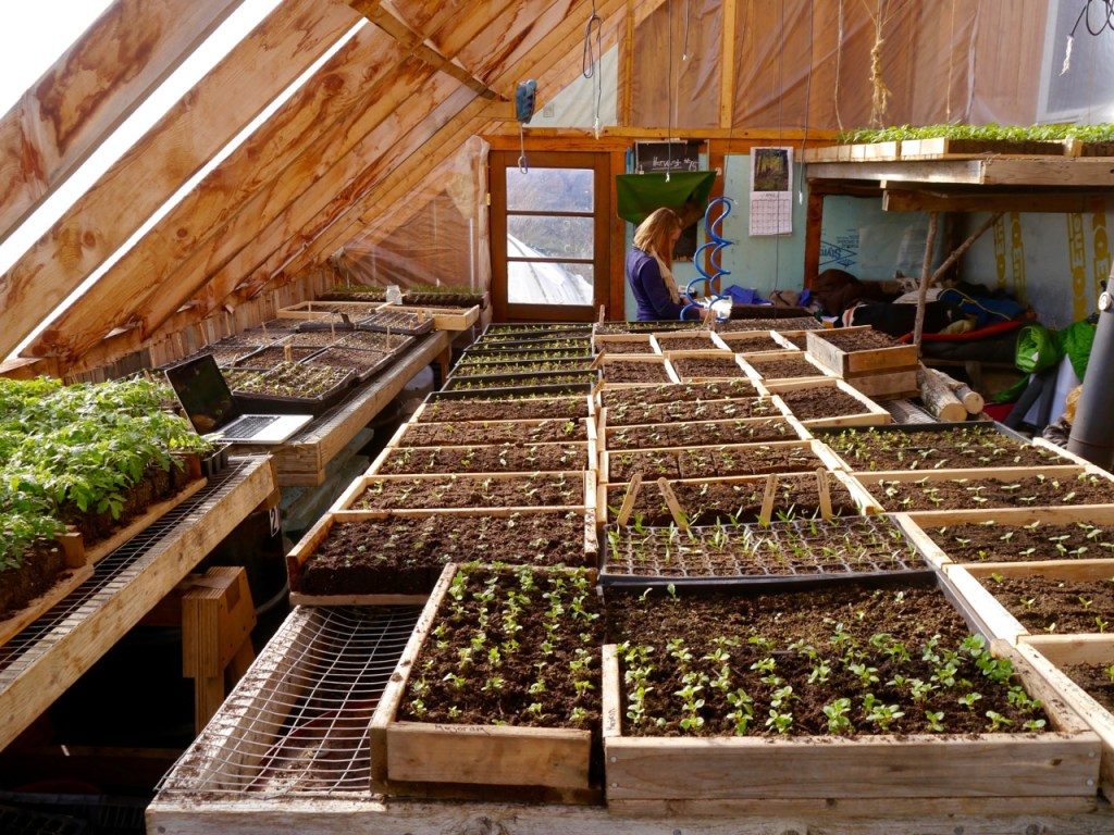 seedlings grown from organic seeds in the greenhouse