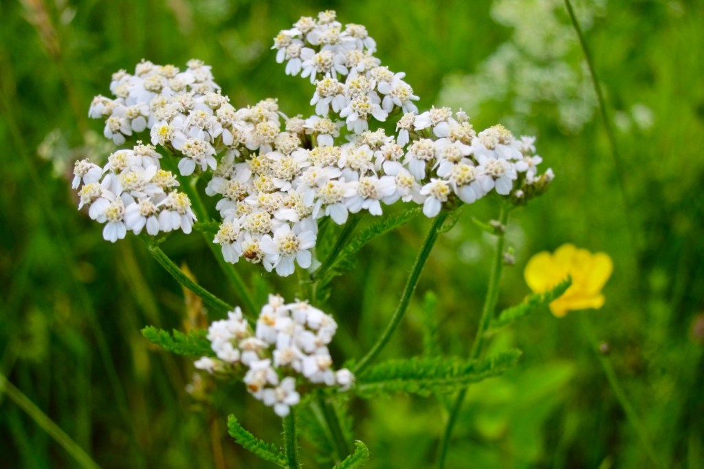 White Yarrow, a native and easy to grow cut flower