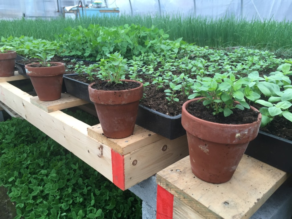 organic perennial herbs up-potted in the greenhouse