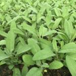 Organic Sage, a perennial herb
