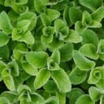 Organic oregano, a perennial herb