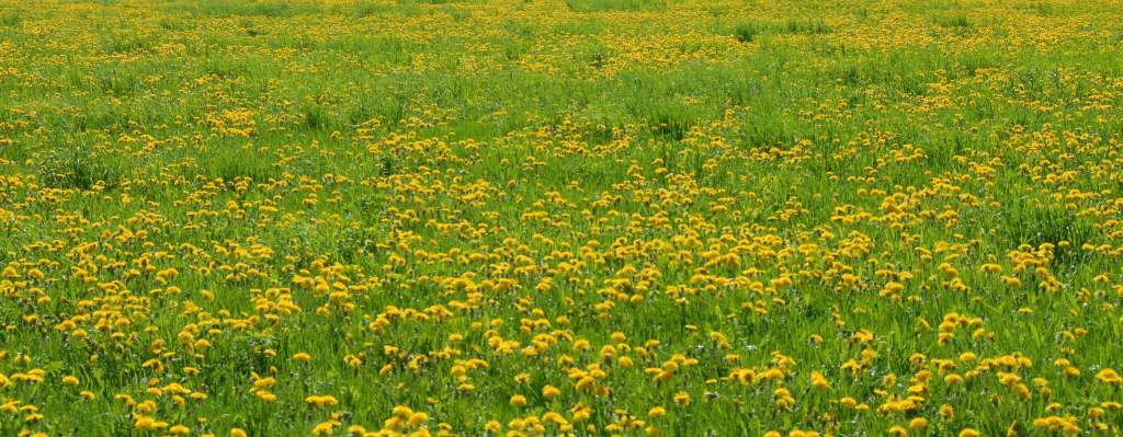Field of Dandelions, Dandelions are edible and make great dandelion pesto
