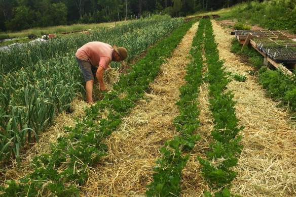 Organic weed-free straw helps control weeds organically in the garden