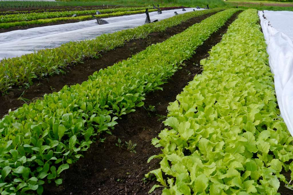 Organic Purple Mizuna, Arugula, and Tokyo Bekana growing in the field, learn how to grow mesclun mix