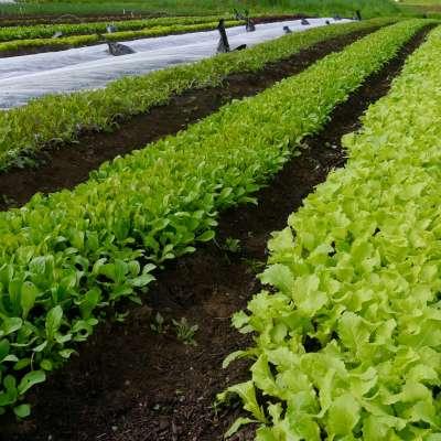 Organic Purple Mizuna, Arugula, and Tokyo Bekana growing in the field, learn how to grow mesclun mix