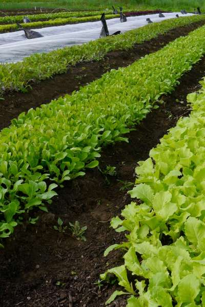 Beyond Lettuce: How To Grow Great Mesclun Mix