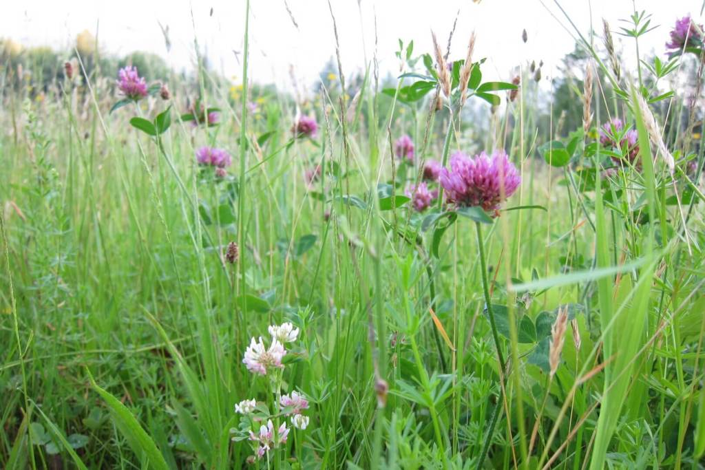 Red Clover in the pasture: wild harvest red clover to make red clover tea