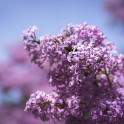 Stop Waiting & Start Planting: Lessons from Lilacs