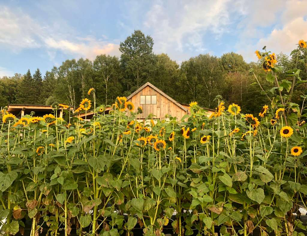 Sunflowers in August at Good Heart Farmstead