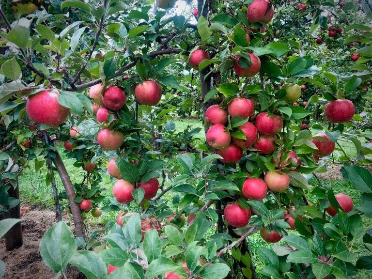 Apple picking for apple eating: make this apple crisp recipe for breakfast or dessert