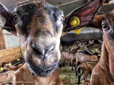 chavignol goats