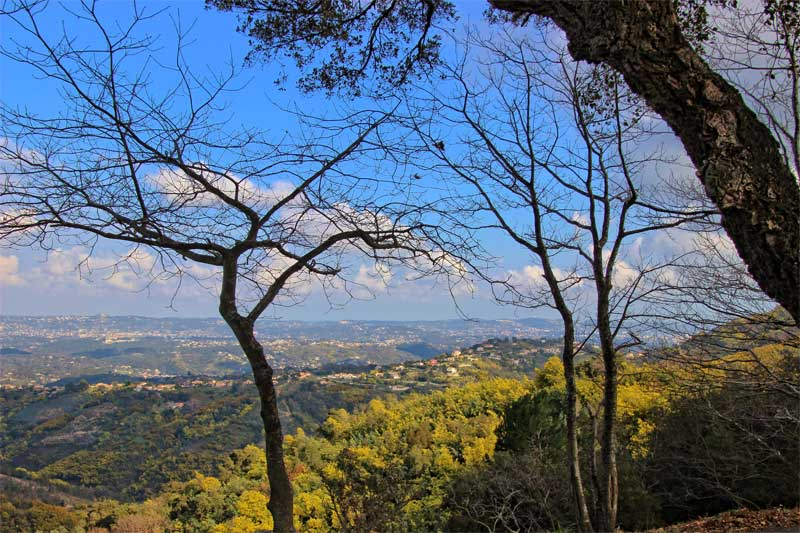 Mimosa trees in bloom covering the hills around Grasse, Provence