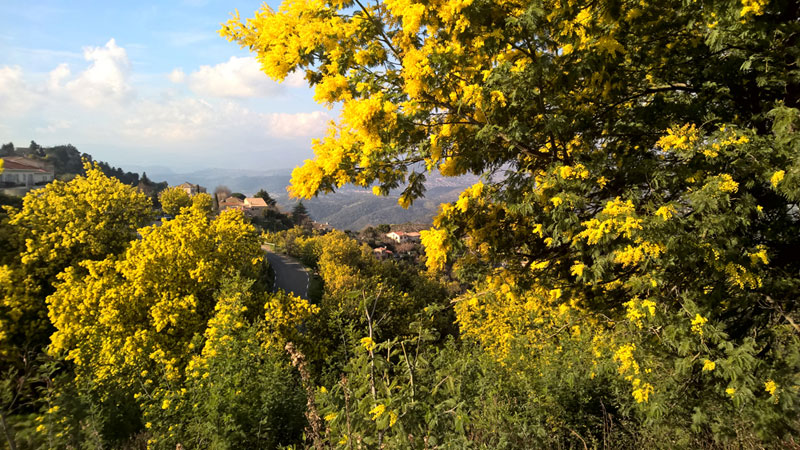 Mimosa blooming in the hills of Provence on a sunny day