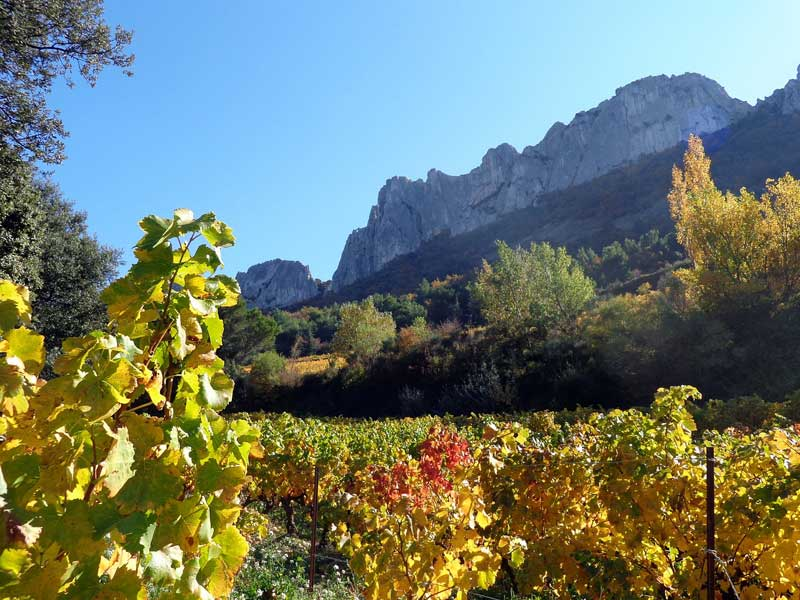 Vineyards in Provence in autumn, red and gold leafed vines in the sun