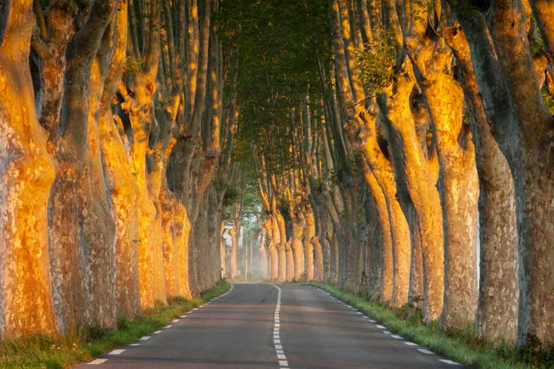 Long row of plane trees lining an empty road in southern France