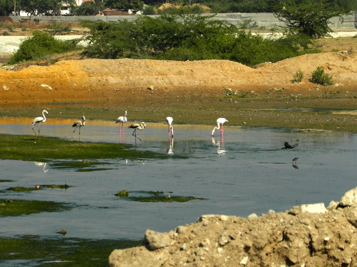Gujarat_Mandvi_Flamingoes - The colours of Kutch