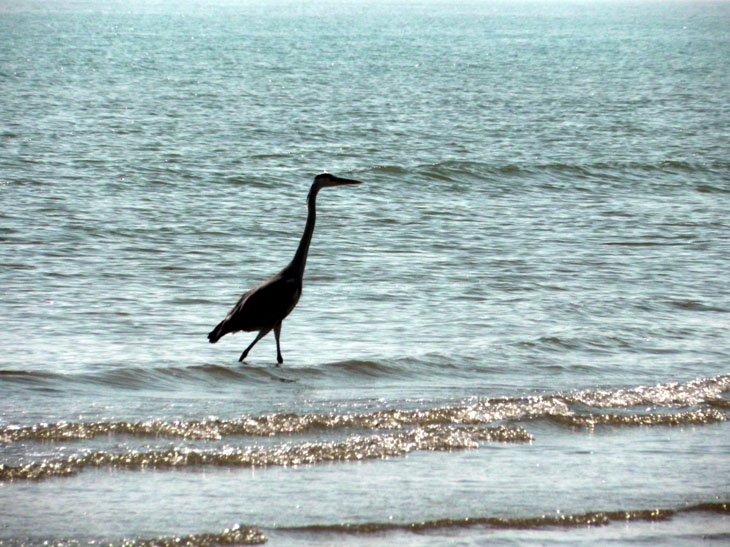 Gujarat_Mandvi_GreyHeron - The colours of Kutch