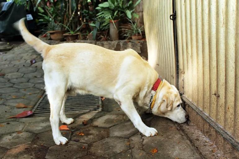 Dog body language - hackles