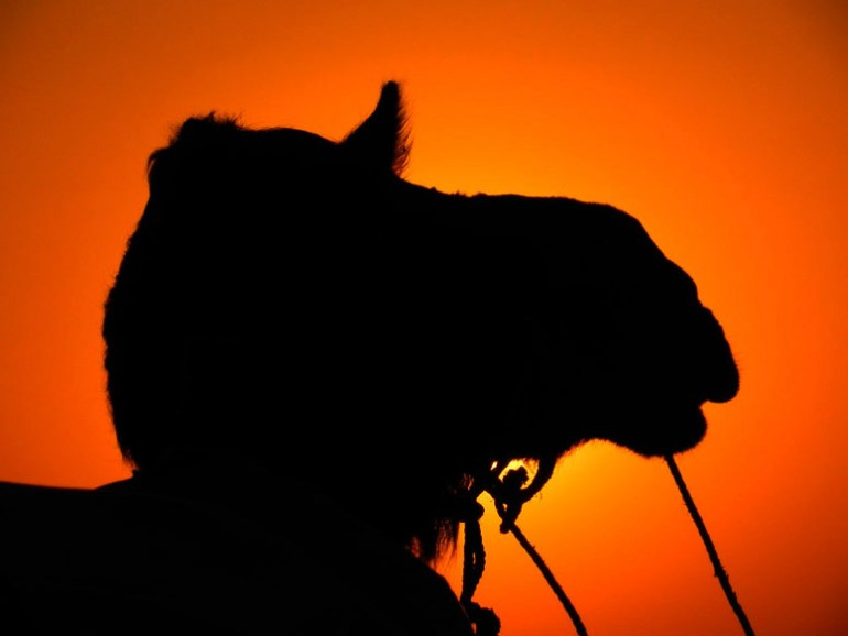 Jaisalmer - Sunset camel - Eight great reasons why you should visit Rajasthan, 'land of kings'