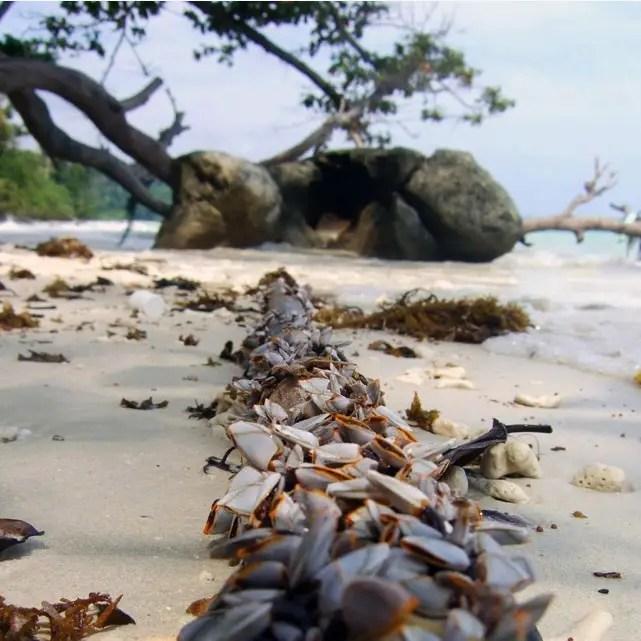 Andamans-Havelock-Beach barnacles