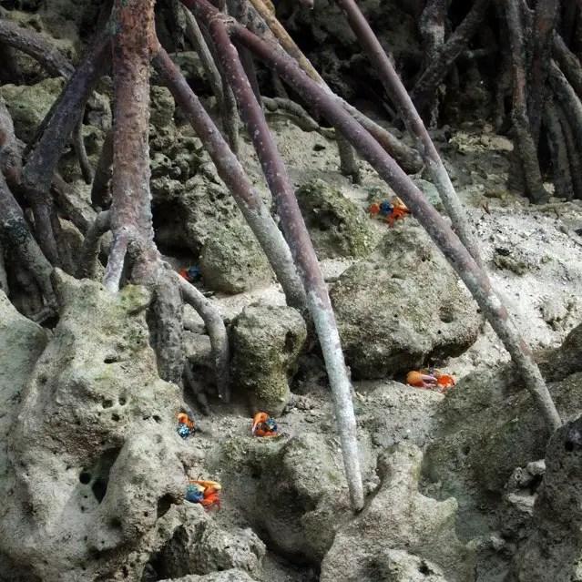 Andamans-Havelock-Fiddler crabs