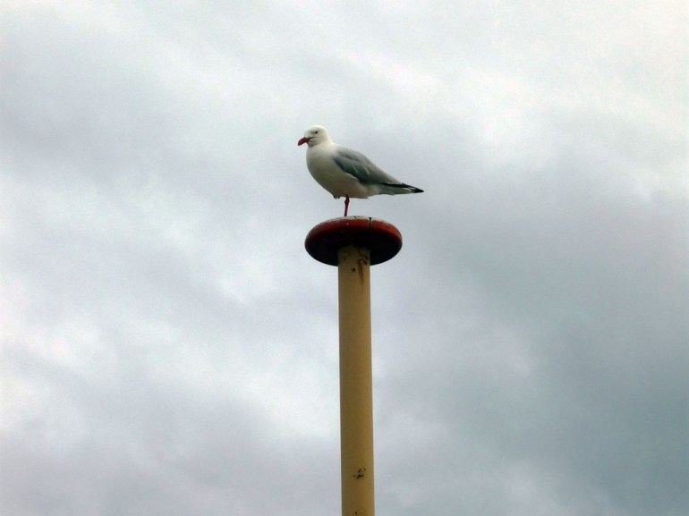 Sydney - Manly seagull