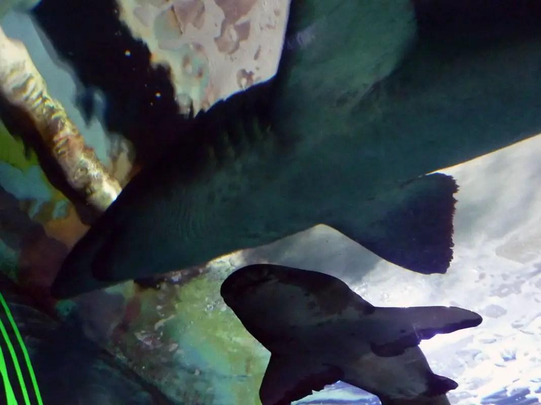 Sydney - Shark tank