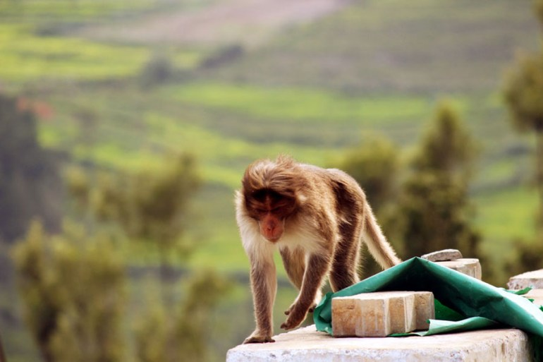 Bonnet macaque investigating our picnic in Coonoor, India - an escape from the summer heat