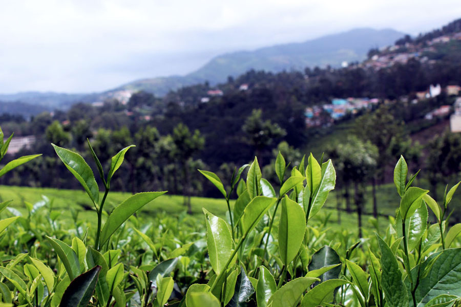 Coonoor - Tea plantation - Leaves
