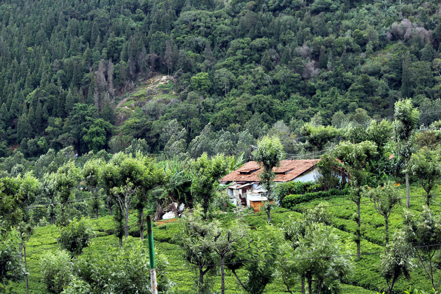 Coonoor - Tea plantation - valley house
