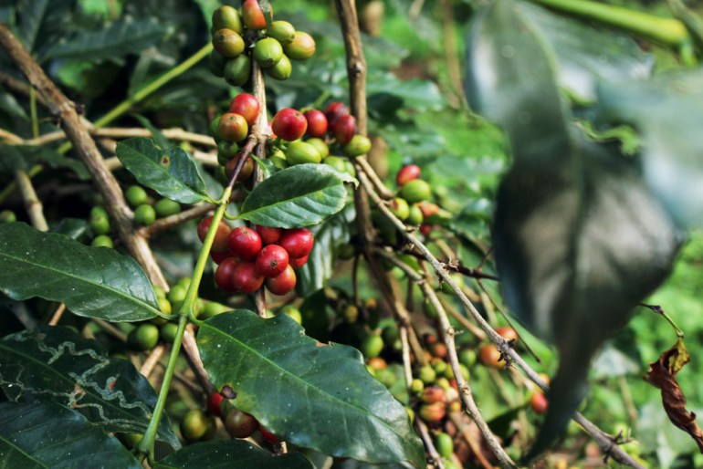 Coorg - Depot estate - Coffee berries