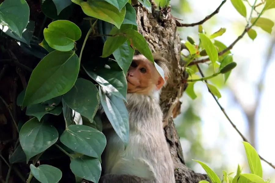Bonnet macaque in pepper vines in Valparai, Tamil Nadu, India