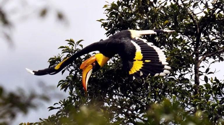 Valparai - NCF - Hornbill.jpg