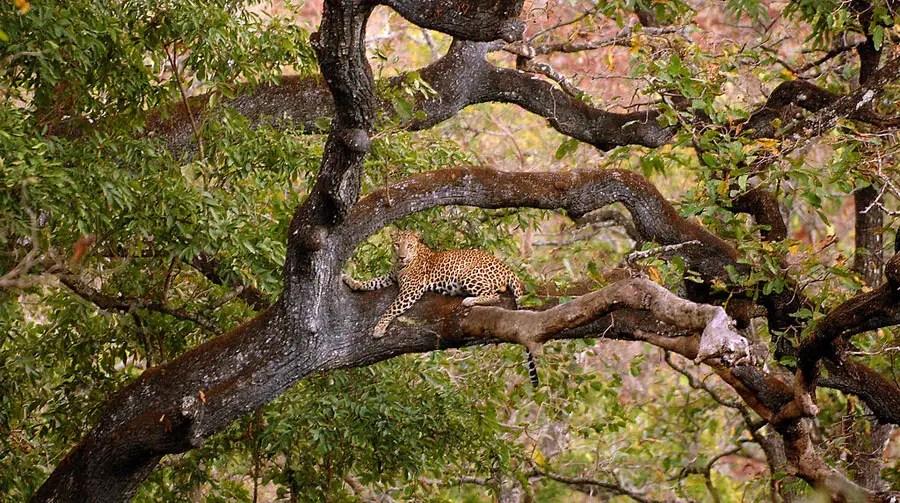 Valparai - NCF - Leopard.jpg