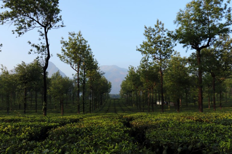View of mountains through tea plantations in Valparai, Tamil Nadu, India - an escape from the summer heat