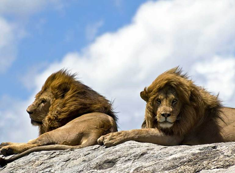 Lions on a rock - Planning a Kenya safari from India