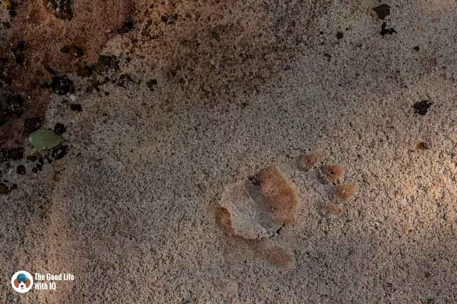 Baboon paw print - Hell's Kitchen near Malindi