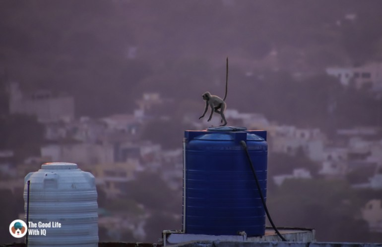 Jumping langur - Chittorgarh