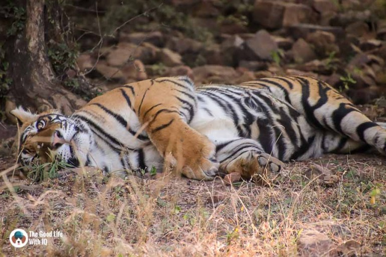Sleeping tiger - Tamron 18-400 review