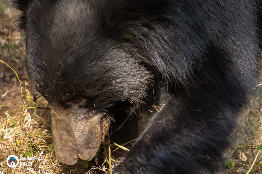 sloth bear - Ranthambhore safari