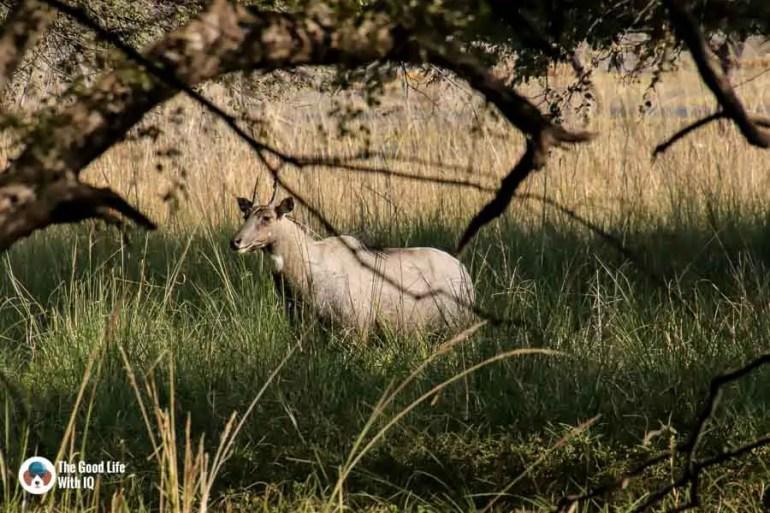 male nilgai - Ranthambhore safari